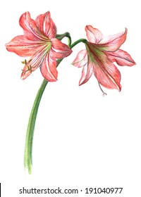 Watercolor on white: pink hippeastrum (amaryllis)