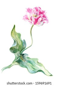 Watercolor on white: pink tulip