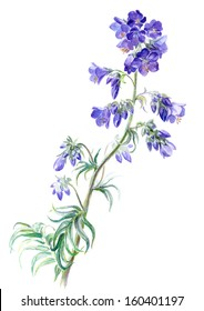 Watercolor on white: Polemonium caeruleum