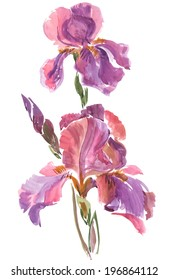 Watercolor on white: quick sketch of the pink iris