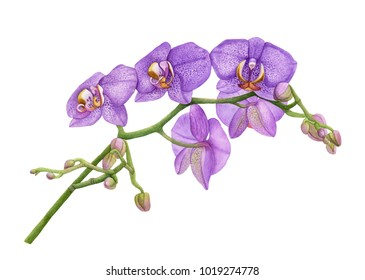 Watercolor orchid flowers.  Violet orchid branch. Beautiful flowers isolated  on white background.