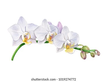 Watercolor orchid flowers.  White orchid branch. Beautiful flowers isolated  on white background.