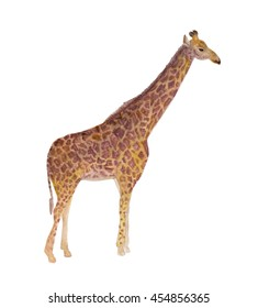 Watercolor painting Giraffe isolated on white background.