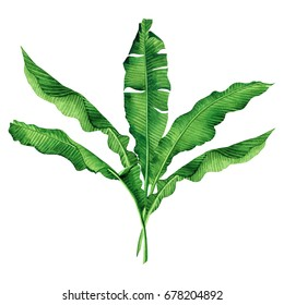 Watercolor Painting Greenbanana Leaves Isolated On White BackgroundWatercolor Hand Painted Illustration Palm