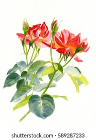 watercolor painting of two red orange rose blossoms with a white background