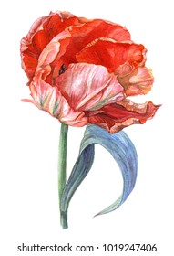 Watercolor parrot tulip. Blooming tulip with green leaves. Botanical illustration. Isolated image of spring flower on white background