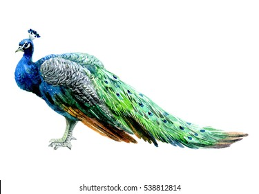 Watercolor peacock bird isolated on a white background illustration.
