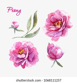Watercolor peony set.Handdrawn illustration