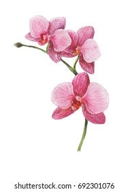 Watercolor picture of pink orchid