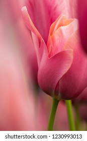 Watercolor pink tulip flower close-up using shallow focus in soft lighting. Soft and gentle spring tulip flower natural background. Abstract pink tulip wallpaper.