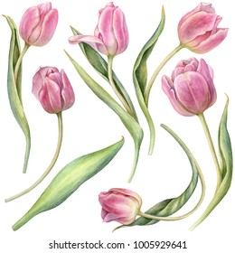 Watercolor pink tulips.