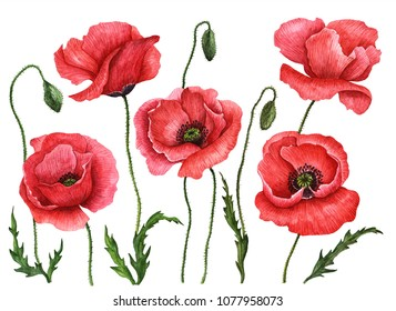 Watercolor poppies set, hand drawn floral illustration, red field flowers isolated on a white background.