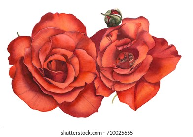Watercolor realistic flowers Roses. Hand drawn illustration.
