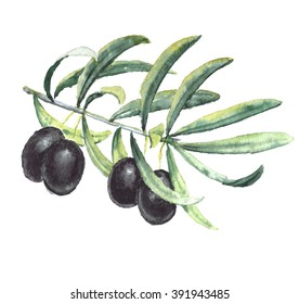 Watercolor realistic paintings - Ripe black olives branch with leaves. Isolated on white background.