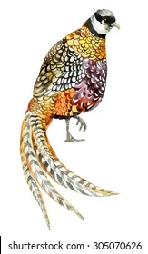 Watercolor Reeves pheasant. Hand painted illustration