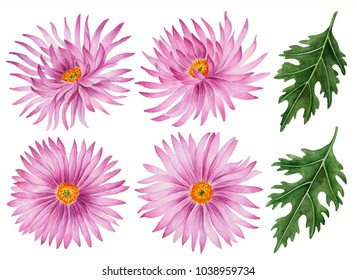 Watercolor set of asters, hand drawn floral illustration, beautiful flowers isolated on a white background.