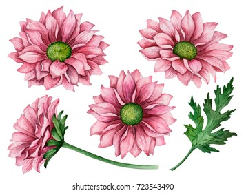 Watercolor set of chrysanthemums, hand drawn floral illustration, autumn flowers isolated on a white background.