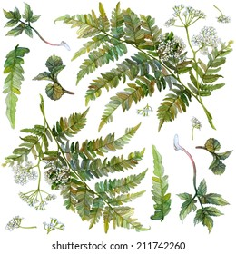 Watercolor set of forest herbs and flowers. Fern, wild aegopodium white flowers and leaves, green growth of wood. Isolated images for pattern on white background