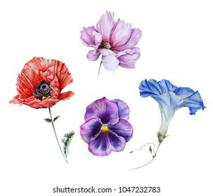Watercolor set of garden flowers:  red poppy, pink cosmos, blue ipomoea, viola