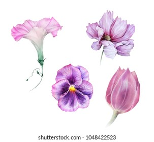 Watercolor set of light pink and lilac garden flowers: ipomoea, viola, tulip and cosmos