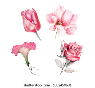 Watercolor set of pink garden flowers: Tulip. Cosmos, morning glory, rose