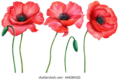 Watercolor set of poppies, hand drawn illustration of red field flowers isolated on white background.