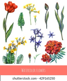Watercolor set of spring and summer flowers and leaves. Tulip flower and buds, primula or primrose flowers with buds and leaves, hyacinth flowers and marigold flowers and bud