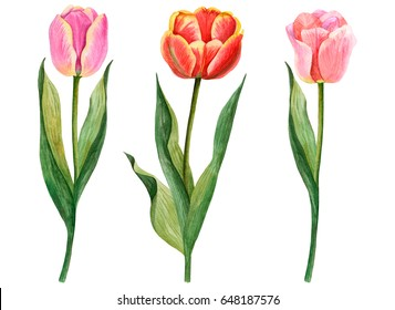 Watercolor set of tulips, hand drawn illustration of flowers isolated on white background.