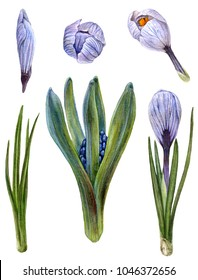 Watercolor set of unblown hyacinth and crocus elements. Botanical illustration of spring flowers and leaves on white background