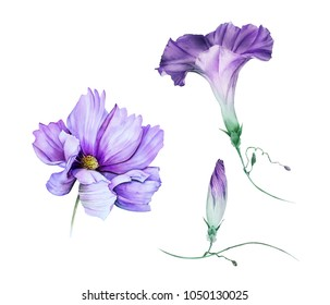 Watercolor set of violet garden flowers: ipomoea with a bud and cosmos