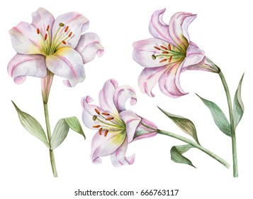 Watercolor set of white lilies, hand drawn illustration of flowers isolated on white background.