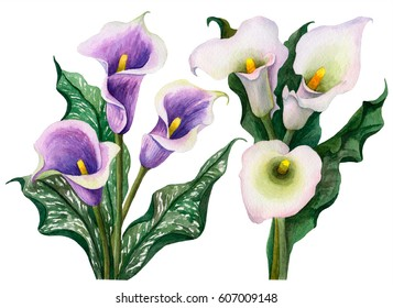 Watercolor set of white and violet calla lilies, hand drawn floral illustration, tender flowers isolated on white background.