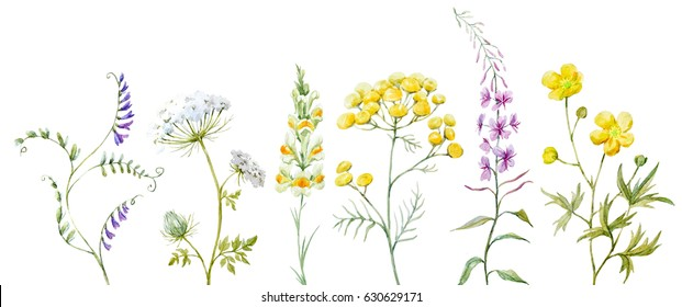 Watercolor set of wildflowers, medicinal tansy, flower meadow lion's eye, field lilac.blooming Sally. Yellow buttercup.  Isolated objects on a dark background