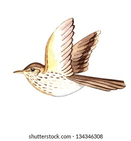 watercolor songthrush