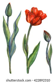 Watercolor tulips set. Blooming red tulip with green leaves and tulip buds. Botanical illustration. Isolated image of spring flowers on white background