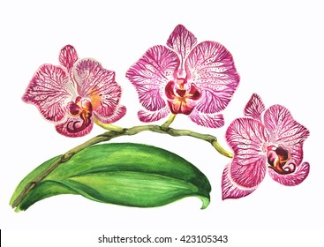 watercolor white and violet orchid with beautiful strips and dots print on petals. Hand painted branch of purple orchid flowers and leave isolated on white background.