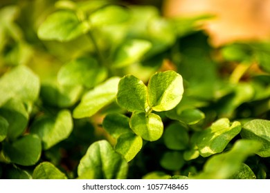 Watercress, fresh eatable herb and medicinal plant in spring