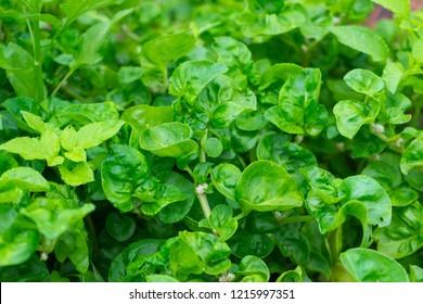 Watercress herb garden, close-up.