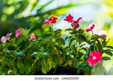 Watercress;Madagasgar Periwinkle ;Vinca. Cayenne jasmine ; Rose ; Old Maid periwinkle . Madagasgar Periwinkles flowers is a beautiful pottery flower