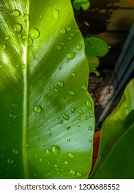 waterdrop closeup on bird's nest fern after raining in the morning