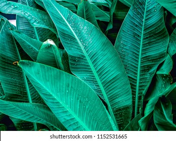 waterdrops on foliage , tropical banana dark green leaves texture background