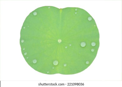 A Watered Lily Pad Isolated in White
