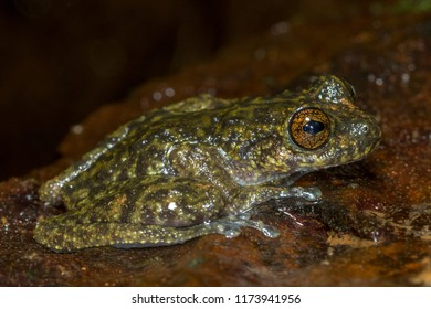 Waterfall frog (Litoria nannotis), one of the endangered species of torrent frogs in tropical Far North Queensland Australia.