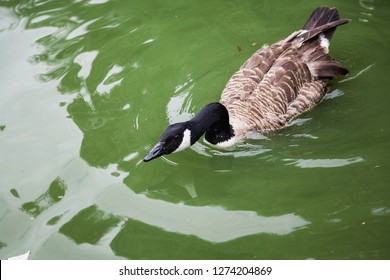 Waterfowl. Canadian Goose floats in green water