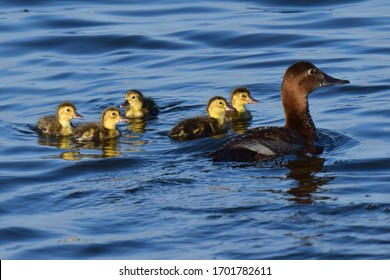 Waterfowl from the duck family( Aythya ferina). Diving duck with ducklings on the lake in summer. Duck (Aythya ferina)on the lake with ducklings