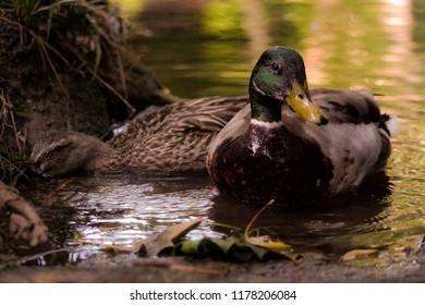 Waterfowl duck goose portrait