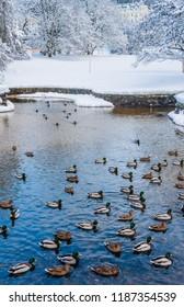Waterfowl ducks on a winter pond near open water. Spa town Marianske Lazne (Marienbad) - Czech Republic. Winter time.