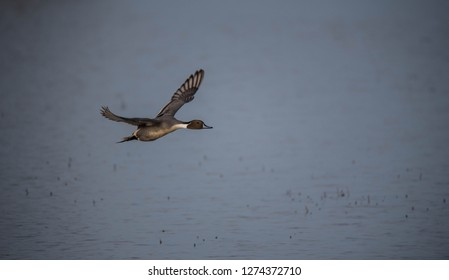 waterfowl flying and in water