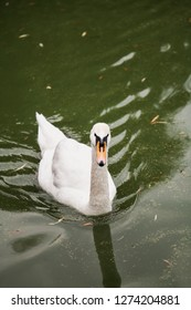 Waterfowl. Graceful white swan floats in green water