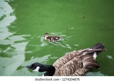 Waterfowl. Gray fluffy duckling duck floating in green water